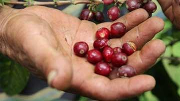 Producción de café de Colombia crece 2,5% en primer bimestre del año