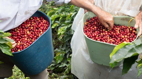 Alianza para garantizar la recolección de café