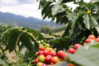 CAFE RISARALDA PUEBLO CAFETERO